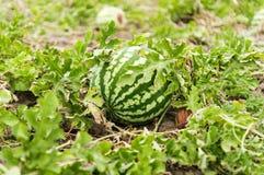 Арбуз растя в саде Стоковые Фотографии RF