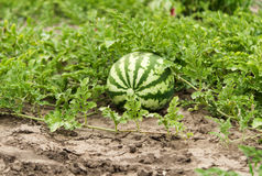 Арбуз растя в саде Стоковое Изображение RF