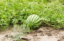 Арбуз растя в саде Стоковое фото RF
