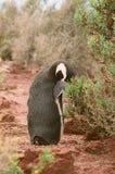 Аргентина очистила magellanic пингвинов Стоковая Фотография