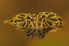 Аргентинская Horned лягушка (Ceratophrys Ornata) Стоковая Фотография
