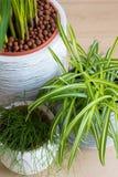 Арека, завод паука и кактус Rhipsalis Стоковые Изображения RF