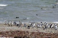Арены Punta - колония пингвина Стоковое Фото
