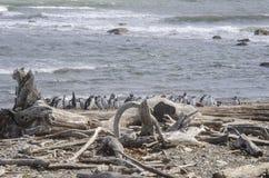 Арены Punta - колония пингвина Стоковые Фото