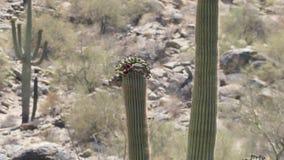 Аризона, пустыня, нектар голубя выпивая от цветков na górze кактуса saguaro видеоматериал