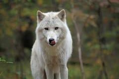 арктика прерывает его лижа волка Стоковые Фото