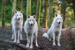 Арктика Wolfs Стоковая Фотография
