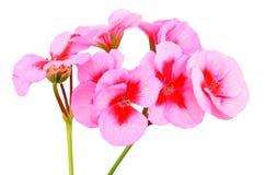 Ароматный цветок гераниума Стоковая Фотография RF