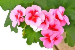 Ароматный цветок гераниума Стоковые Фотографии RF