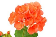Ароматный цветок гераниума Стоковая Фотография