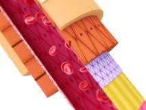 артерия Стоковая Фотография RF