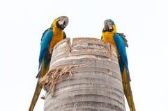 2 ары в их гнезде расположенном на кокосовой пальме Стоковая Фотография