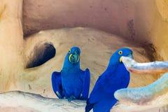 Ары гиацинта Стоковые Фотографии RF