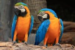 Ары (голубая и желтая ара) Стоковое Изображение RF