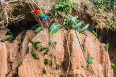 Ары и попугаи в глине лижут в перуанских джунглях Амазонки на стоковые фотографии rf