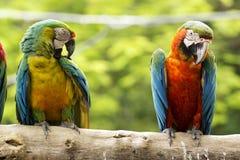 2 ары на дереве Стоковая Фотография RF