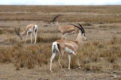 дар s gazelle Стоковые Изображения