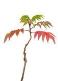 Асер красит sapling японского клена яркий Стоковые Изображения