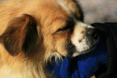 лаская собака стоковые изображения rf