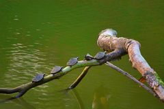 Асом настелил крышу черепахи, sylhetensis Pangshura, национальный парк Kaziranga, Асом стоковое фото rf