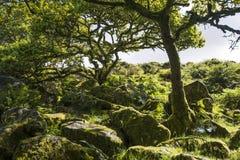 Аспекты древесины ` s Wistman - старый ландшафт на Dartmoor, Девоне, Англии стоковые фотографии rf