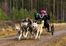 Ассоциация Шотландия собаки скелетона, участник гонки. стоковое изображение