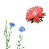 астероидов Розовый цветок, цветок весны Цветок Knapweed Стоковое Изображение RF