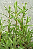 Астрагон, трава Стоковые Фото