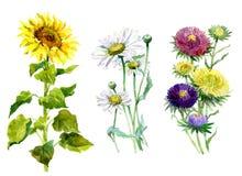 Астра акварели, хризантема, солнцецвет, букет стоцвета Стоковые Фотографии RF