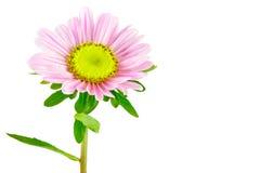 Астра цветка Стоковые Фотографии RF