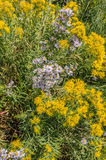 Астры лаванды и желтое Rabbitbrush Стоковая Фотография