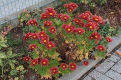 Астры в красном цвете Стоковые Изображения RF
