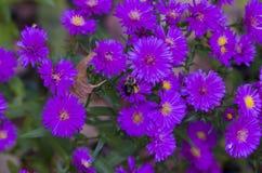 астры пурпуровые Стоковое Фото