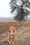 атакуя собака смешная Стоковые Фотографии RF