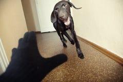 атакуя собака Стоковая Фотография