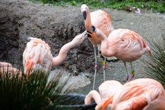 Атакуя фламинго Стоковые Изображения