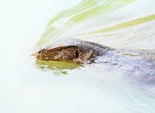 латинская вода varanus salvator имени монитора Стоковые Фото