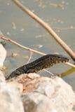 латинская вода varanus salvator имени монитора Стоковое Изображение
