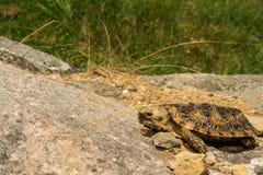 латинская черепаха tornieri блинчика имени malacochersus Стоковые Изображения