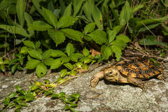 латинская черепаха tornieri блинчика имени malacochersus Стоковые Изображения RF