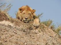 латинский спать panthera имени львицы leo Стоковые Фото
