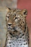 латинское saxicolor персиянки pardus panthera имени леопарда Стоковые Изображения