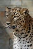 латинское saxicolor персиянки pardus panthera имени леопарда Стоковое Фото