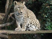 латинское saxicolor персиянки pardus panthera имени леопарда Стоковое Изображение