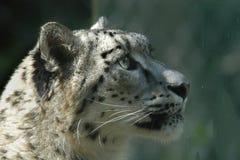 латинское uncia снежка имени леопарда Стоковые Изображения RF