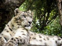 латинское uncia снежка имени леопарда Стоковое Фото