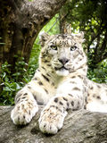 латинское uncia снежка имени леопарда Стоковое Изображение RF