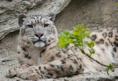 латинское uncia снежка имени леопарда Стоковая Фотография RF