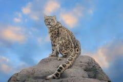 латинское uncia снежка имени леопарда Стоковое фото RF