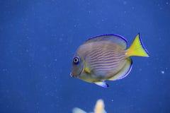 Атлантическая голубая тянь Стоковое фото RF